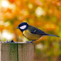 Autumn Tit by FreyaPhotos