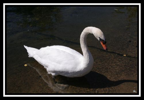 Swan by restlesscourage