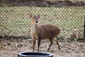 Reeves Muntjac Stock 1 [2014] by Jaded-Night-Stock
