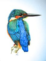 Common Kingfisher by salt25
