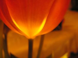 Tulpe by stock1-2-3