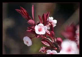 Spring Blossoms II by Astraea-photography