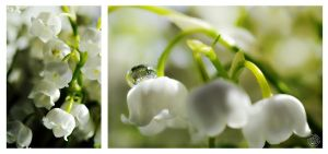 Lily of the valley by kuzjka