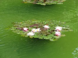 Water-lilies by Siluan-stock