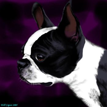 Boston Terrier by WillCapers