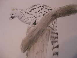 Charcoal Genet by Little-dingo