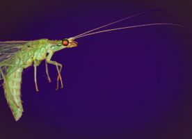 Lacewing by cathy001
