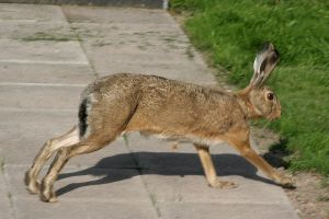 Hare blurrage by TomiTapio