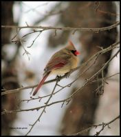 Female Cardinal 1 by PatriciaRodelaArtist