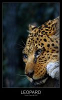 Leopard by ClaudeG