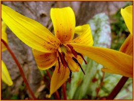 TROUT LILY FOR JOCELYNE by AudraMBlackburnsArt