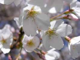 White Cherry Blossom by pisthelimit