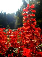 All-red flower. by HappinessWTF