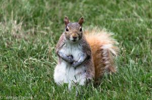 Beggar Squirrel by SabrinaFranek