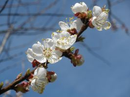 Cherry tree flowers by estel28