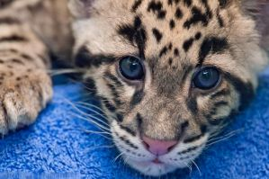 Clouded leopard cub 9280 by robbobert