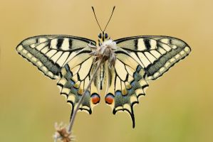 papilio machaon by MartinAmm