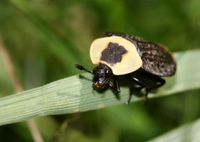 American Carrion Beetle by fractalfiend