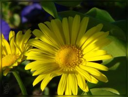 Yellow Daisy macro by 123LicenseToPaint