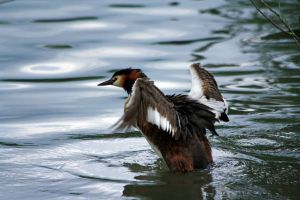 Great Crested Grebe by Tinap