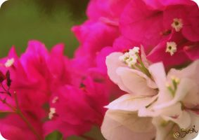 Bougainvillea by DreamingMerchant