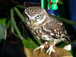 Athene noctua by Jack-In-The-Green