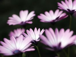 A Spray of Daisies by andras120