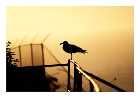 Alcatraz Gull by Ythor