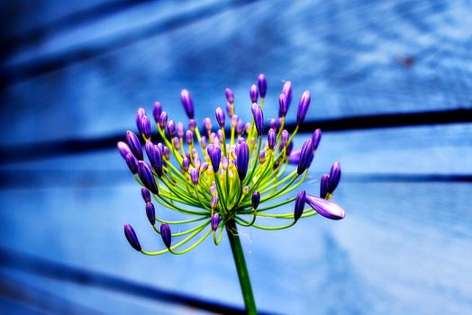 Purple Flower on Blue Wood by MattHovey
