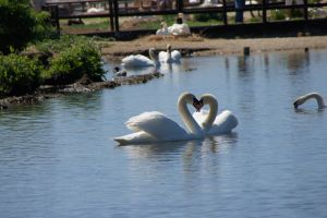 DSC00844 Swans courting, Abbotsbury Swannery by VIRGOLINEDANCER1