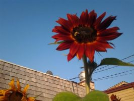 Sunflower 2 by GUDRUN355