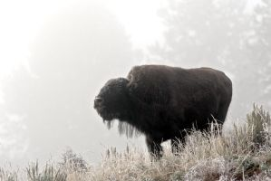 Bison in the fog by Iamidaho