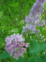 Lilacs by Resensitized