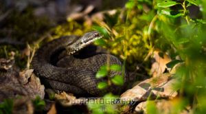 Common European adder by hannord