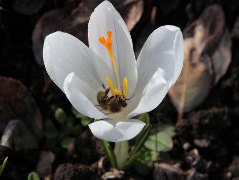 Crocus Bee by wuestenbrand