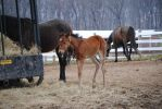 Foal Stock 2 by Vance-Equine-Stock