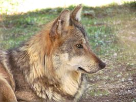 ALZ Apr5: Mexican Wolf 5 by FamilyCanidae