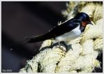 Red-rumped swallow by KlaraDrielle