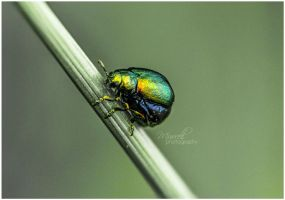 Mint Leaf Beetle by SianMurrell