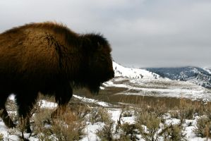 bison 2 by aaron-nathan