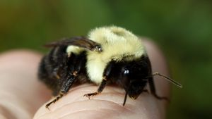 Female Carpenter Bee On Me by fractalfiend
