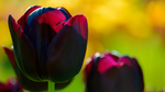Black Tulip Wallpaper by Pierre-Lagarde