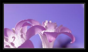 Soft Petals by Kate419882