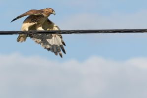 Hawk High Wire Act 4 by bovey-photo