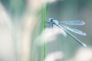 White-legged Damselfly by Nitrok