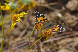 Painted Lady on Brittlebush by PatGoltz