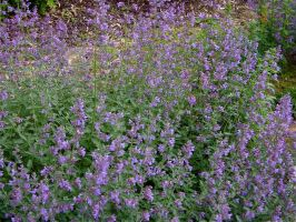 Catmint and Carpenter Bees by NetherStray