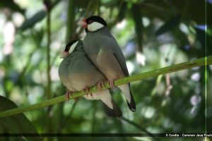 Common Java Finch Pair by afira
