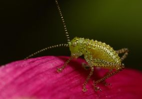 Katydid Nymph 4 by Alliec