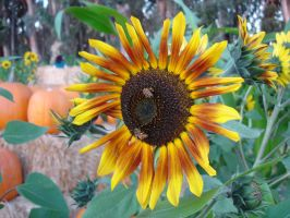 sunflower by sc4mp1